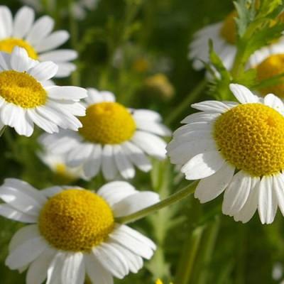 Со2 экстракт Ромашки (цветки), 5 мл