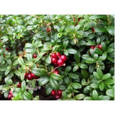 Гидролат Брусники (лист, ягода), 100 мл