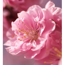 "Отдушка ""Цветы Сакуры"", 10 мл"