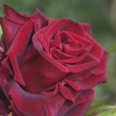 Воск розы, 10 г