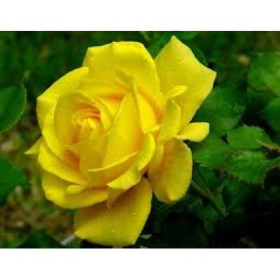Жирорастворимый краситель Жёлтый 10 г